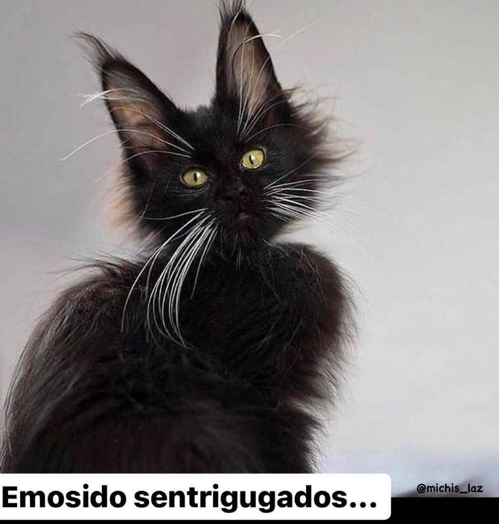 gao-sentrifugado meme gatos catmemes
